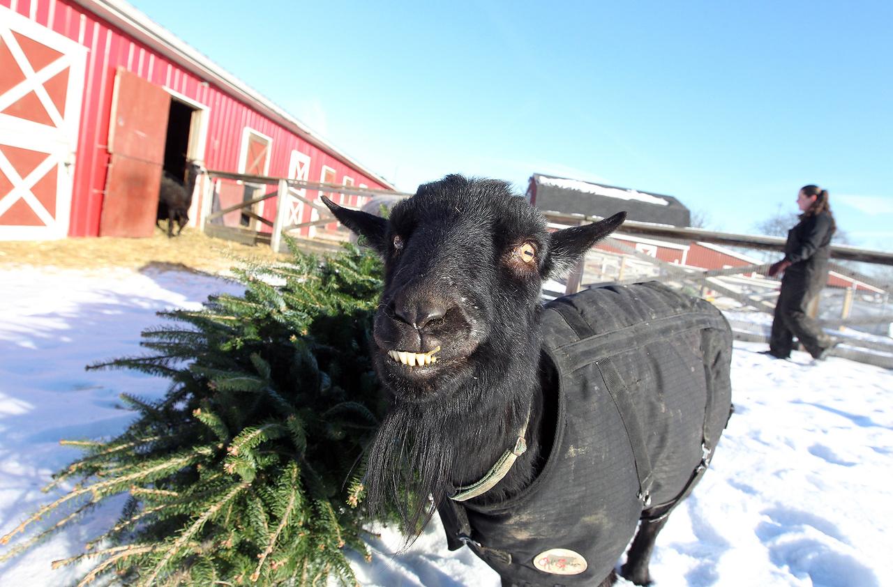 LCJ_111_Lambs_Christmas_Trees_H