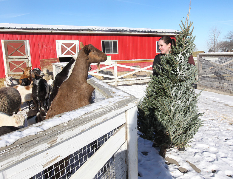 LCJ_111_Lambs_Christmas_Trees_A