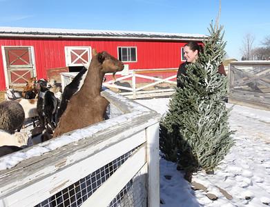 LCJ_111_Lambs_Christmas_Trees_A