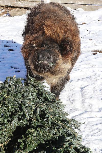 LCJ_111_Lambs_Christmas_Trees_I