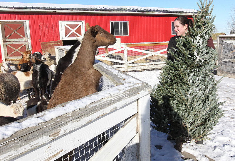 LCJ_111_Lambs_Christmas_Trees_A_COVER