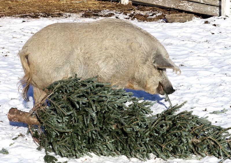 LCJ_111_Lambs_Christmas_Trees_G