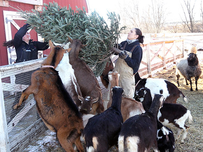LCJ_111_Lambs_Christmas_Trees_C