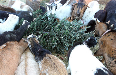 LCJ_111_Lambs_Christmas_Trees_D