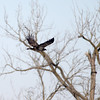 knews_thu_125_ALL_BaldEagles4