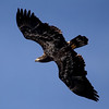 knews_thu_125_ALL_BaldEagles3