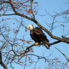 knews_thu_125_ALL_BaldEagles2