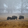 A dense fog hangs over the resident bison at Fermi National Accelerator Laboratory in Batavia.