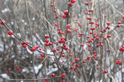 Candace H. Johnson-For Shaw Media Winterberry holly shrubs could be seen on a tour of the Volo Bog during WinterFest at the Volo Bog State Natural Area on Brandenburg Road in Ingleside. (1/13/19)