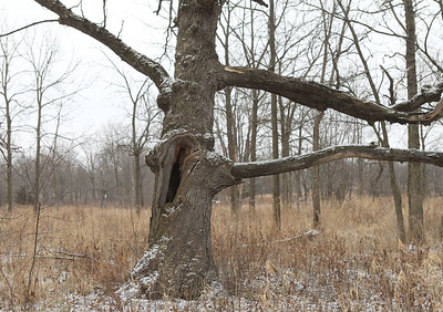 Candace H. Johnson-For Shaw Media An oak tree with a cavity in its trunk was highlighted as a possible home for a lot of different animals during Walk with a Naturalist at Grant Woods on West Monaville Rd. in Ingleside. (1/4/20) The next Walk with a Naturalist will be at the Greenbelt Forest Preserve in North Chicago on Saturday, February 1st, from 9-10:30 am. Everyone will meet at the Greenbelt Cultural Center. The walks are hosted by the Lake County Forest Preserves.
