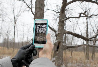 Candace H. Johnson-For Shaw Media Edith Blom, of Mundelein takes a picture of an oak tree with her cell phone during Walk with a Naturalist at Grant Woods on West Monaville Rd. in Ingleside. (1/4/20) The next Walk with a Naturalist will be at the Greenbelt Forest Preserve in North Chicago on Saturday, February 1st, from 9-10:30 am. Everyone will meet at the Greenbelt Cultural Center. The walks are hosted by the Lake County Forest Preserves.