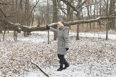 Candace H. Johnson-For Shaw Media Edith Blom, of Mundelein touches a long branch of an oak tree during Walk with a Naturalist at Grant Woods on West Monaville Rd. in Ingleside. (1/4/20) The next Walk with a Naturalist will be at the Greenbelt Forest Preserve in North Chicago on Saturday, February 1st, from 9-10:30 am. Everyone will meet at the Greenbelt Cultural Center. The walks are hosted by the Lake County Forest Preserves.