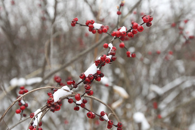 Candace H. Johnson-For Shaw Media A shrub called, Winterberry Holly, could be seen on a guided walking tour of the Volo Bog during WinterFest at the Volo Bog State Natural Area in Ingleside. (1/12/20)