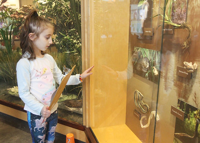 Candace H. Johnson-For Shaw Media Teegan Mumm, 6, of Volo looks at a nature display as she writes down what she finds for a Scavenger Hunt at the Visitor Center during WinterFest at the Volo Bog State Natural Area in Ingleside. (1/12/20)