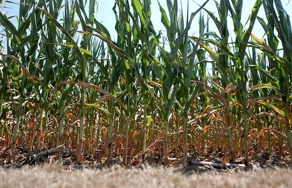 Corn shows signs of this summer's drought on the 70-acre farm owned by Steve Pitstick in Maple Park. Pitstick farms over 2,000 acres throughout Kane, DuPage and DeKalb counties.