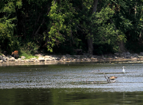 A white heron sits in the Fox River near Fabyan Forest Preserve in Geneva as a deer (far left) peeks out of the woods.