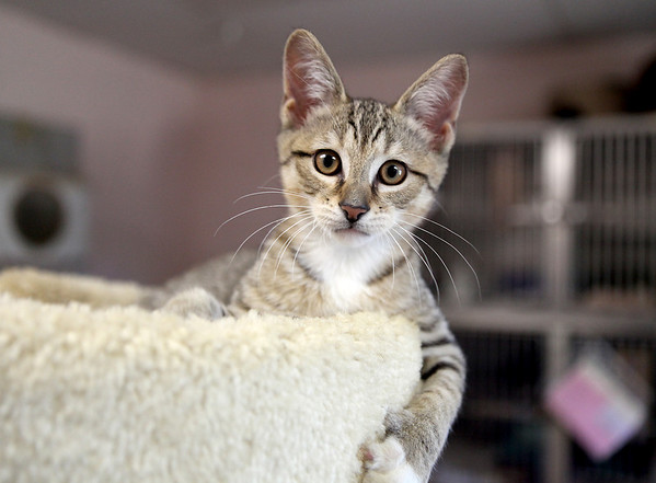 An 8-week-old kitten up for adoption at Anderson Animal Shelter in South Elgin.