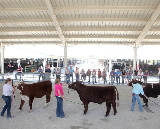 Local 4-H members show their beef cows during the 2012 Kane County Fair Friday afternoon.