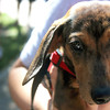 Kahlua, a 5-month-old dachshund gets ready for the pet parade at the Windmill City Festival in downtown Batavia on Saturday. Kahlua's mismatched eyes come as a result of the spots she has on her fur.