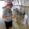 Madison Solomon, 11, of St. Charles puts one of her hens, Eggwina, back into her cage during the second day of the Kane County Fair in St. Charles Thursday.