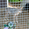 knews_wed_709_Coyotes2