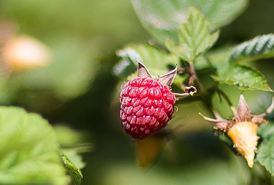 hnews_sat0709_raspberries3.jpg