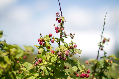hnews_sat0709_raspberries5.jpg