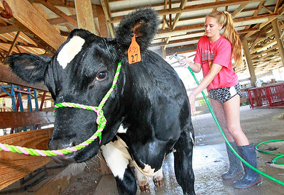 Candace H. Johnson Sydney Herchenbach, 16, with Lakefield Farms in Grayslake, washes a show steer named, Bentley, before the start of the Lake County Fair in Grayslake.