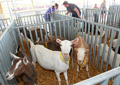 Candace H. Johnson Curious goats stay in their pens as their owners, Linda Pfister, of Chana, and her daughter, Stephanie, move more into the area before the start of the Lake County Fair in Grayslake.
