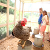 knews_thu_629_ELB_chickens6