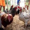 knews_thu_629_ELB_chickens5