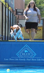 Candace H. Johnson-For Shaw Media Erika Sajpel, of Rolling Meadows watches her dog, Fox, a two-year-old Brittany, take a jump in the water to retrieve a ball for the DockDogs Big Air Wave canine aquatics competition during the Dog Days of Summer on Church Street in Libertyville. (7/6/18)