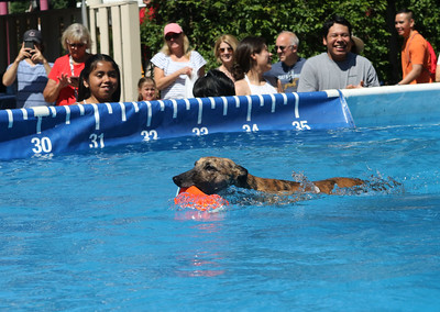 Candace H. Johnson-For Shaw Media Hit, a Whippet, retrieves a toy while competing in a DockDogs canine aquatics competition during the Dog Days of Summer on Church Street in Libertyville. Hit was brought to the competition by his handler, Cindy Ferguson, of Indianapolis, Ind.(7/6/18)