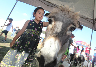 Candace H. Johnson-For Shaw Media Amira Castaneda, 4, of Round Lake Beach pets a donkey in the petting zoo during BeachFest at the Cultural & Civic Center in Round Lake Beach.The animals were provided by Miller's Petting Zoo, of Geneseo.(7/14/18)