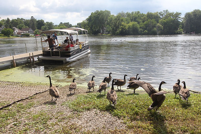 Candace H. Johnson-For Shaw Media A flock of geese stay on dry land as a group of people get ready to depart from Eastway Park for the Historic Pontoon Boat Tour of Island Lake. The next tour will be held on Sunday, July 29th from 4-5 pm.(7/21/18)