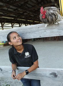 Candace H. Johnson-For Shaw Media Ryann Ray, 17, of Mundelein looks up at her rooster, Goliath, as he sits on a wooden fence greeting visitors during the 90th Annual Lake County Fair at the Lake County Fairgrounds in Grayslake.