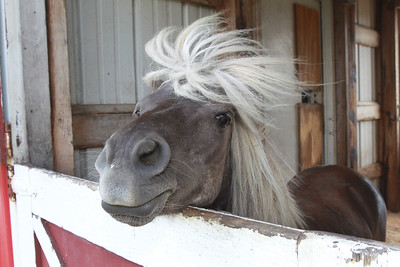 Candace H. Johnson-For Shaw Media Ethan, an American miniature horse, greets visitors as his hair blows in the wind, in the Farmyard at Lambs Farm in Libertyville. (7/12/20)