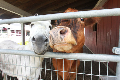 Candace H. Johnson-For Shaw Media Squirt, a standard donkey, and Stella, a miniature Dexter cow, greet visitors in the Farmyard at Lambs Farm in Libertyville. Both animals were donated to the farm in 2017 by Brian Urlacher, a former American linebacker for the Chicago Bears. (7/12/20)