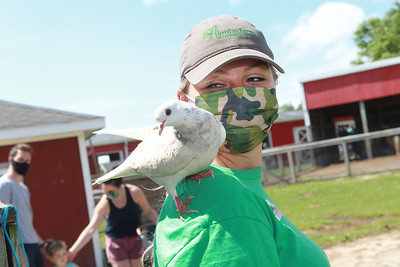 Candace H. Johnson-For Shaw Media Sammie Wilkins, of Grayslake, senior animal keeper, lets her pigeon named, Doodle, stay perched on her shoulder as she works at Lambs Farm in Libertyville. (7/12/20)