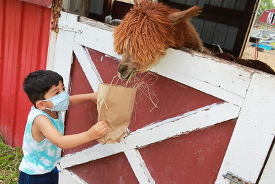Candace H. Johnson-For Shaw Media Sami Chaudhry, 3, of Morton Grove feeds hay to an alpaca named, Mowgli, in the Farmyard at Lambs Farm in Libertyville. (7/12/20)