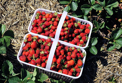 Sarah Nader - snader@shawmedia.com A basket filled with freshly picked strawberries at Stade's Farm in McHenry on Tuesday, June 12, 2012.