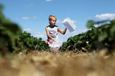 Sarah Nader - snader@shawmedia.com Aidan Wasilowski, 7, of McHenry fills his baskets with fresh picked strawberries at Stade's Farm in McHenry on Tuesday, June 12, 2012. Stade's Farm is open from 9:00 a.m. to 6 p.m. daily and has 10 acres of strawberry plants to pick from.