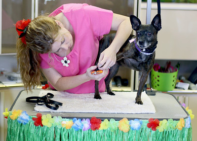 Sarah Nader - snader@shawmedia.com Owner of Erin's Mobil Pet Grooming, Erin Hogue, trims a dogs nails during the All About Dogs Luau and Pet Adoption hosted by On Angels' Wings in Crystal Lake on Saturday, June 16, 2012.