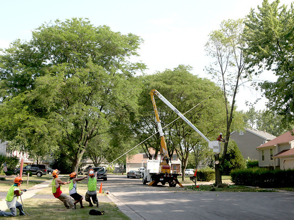 Crew members from Skyline Tree Service in St. Charles work to remove a tree infected with the emerald ash borer on Liberty Avenue in St. Charles Thursday morning.