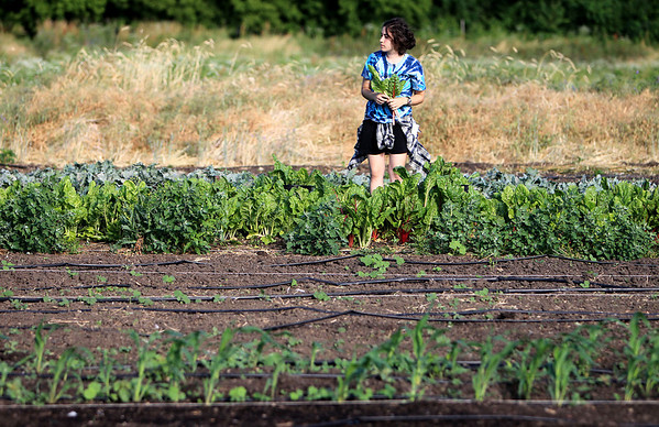 Danielle Piraino, an intern at Pushing the Envelope Farm, harvests Swiss chard at the organic farm in Geneva early Wednesday.