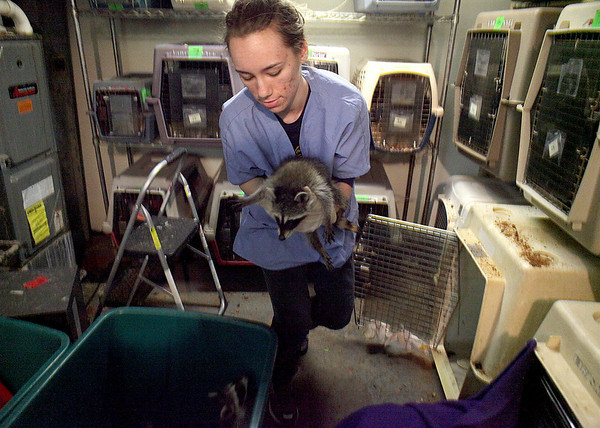 Fox Valley Wildlife Center volunteer Angel Pivonka transfers baby raccoons into a holding area during mealtime at the center's facility in Elburn.