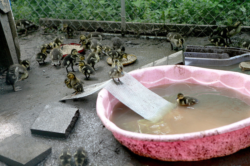Orphaned ducklings play in the water in an enclosed area outside the Fox Valley Wildlife Center in Elburn.