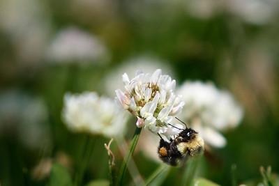 hnews_adv_Bee_Pollen