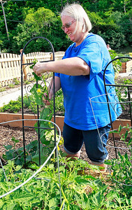 Candace H. Johnson Joyce Padera, of Fox Lake puts a cucumber plant on a trellis at the Community Garden of Fox Lake on Forest Avenue.
