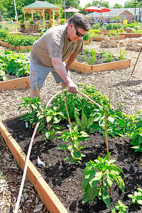 Candace H. Johnson Ed Noga, of Fox Lake waters his vegetable plants at the Community Garden of Fox Lake on Forest Avenue.